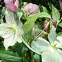 Mysterious Hellebores....