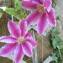 First Dainty Clematis blooms...