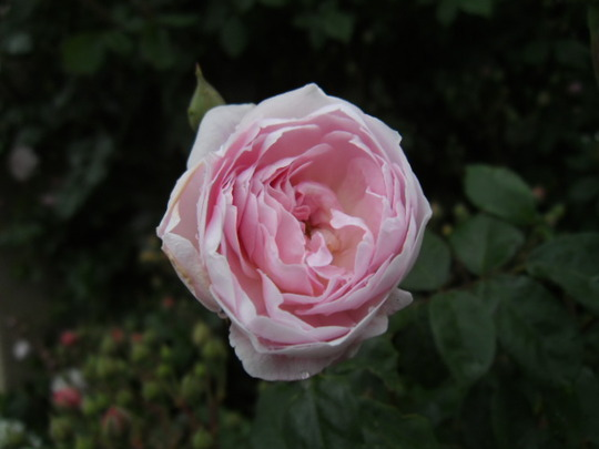 Rose Blush Noisette 2