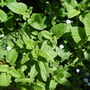 Lemon balm...My all time favourite herb in my garden....