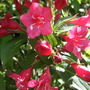 Weigela bush in my garden...