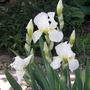 Iris germanica (Orris)