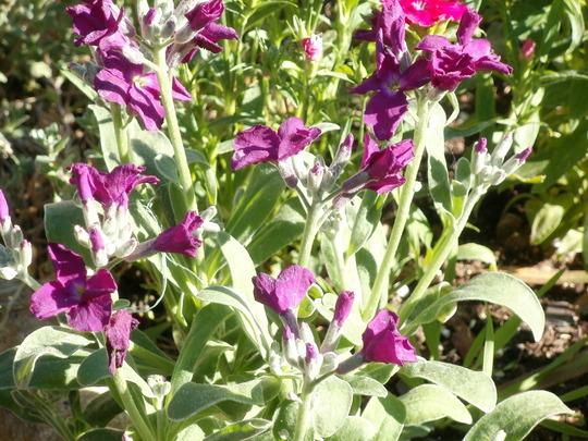 purple stock (Matthiola incana 'Dwarf 10 Week')