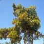 Markhamia lutea- Markhamia, Nile Tulip Tree and 2 Large Caryota urens - Fishtail Palms (Markhamia lutea- Markhamia, Nile Tulip Tree, Caryota urens - Fishtail Palms)