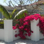 A Young Kentia Palm (Howea fosteriana) and Bougainvillea (Howea fosteriana  - Kentia Palm and Bougainvillea)
