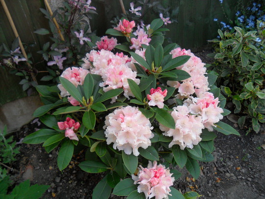 New Rhododendron `Dreamland`