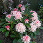 New Rhododendron `Dreamland`