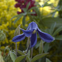 Copy_of_clematis_hendersonii4