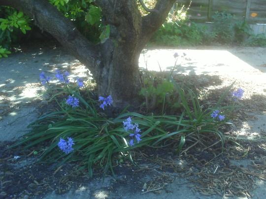 Bluebells 2 (Hyacinthoides non-scripta (Bluebell))