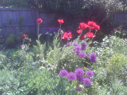 Alliums and poppies 2