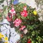begonias in front garden