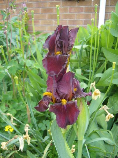 Iris germanica 'Red Zinger' (Iris germanica)