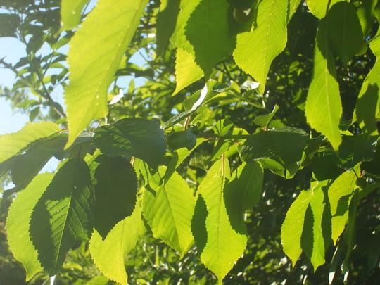 Sun through Cherry Leaves