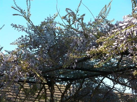 My wisteria is looking wonderful