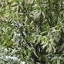 Prunus Padus Watereri close up