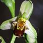 Wild_orchids_008