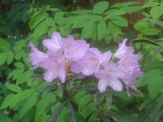 Rhodendron makinoi (Rhododendron makinoi)
