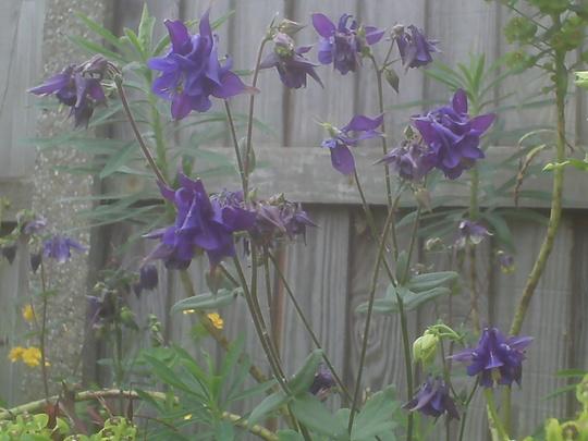 Aquilegia vulgaris-blue  (Aquilegia vulgaris (Columbine))