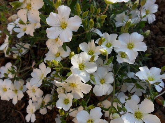 Arenaria montana (Arenaria montana)