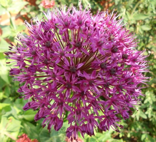 Allium hollandicum 'Purple Sensation'  (Allium hollandicum 'Purple Sensation')
