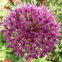 Allium hollandicum 'Purple Sensation'  (Allium hollandicum 'Purple Sensation')