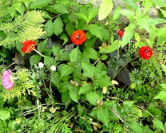 Red Ranunculous group. (Ranunculus asiaticus)