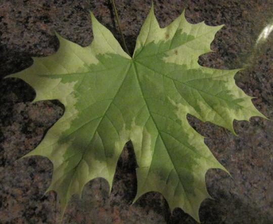 Acer leaf  (Acer platanoides Drummondii)