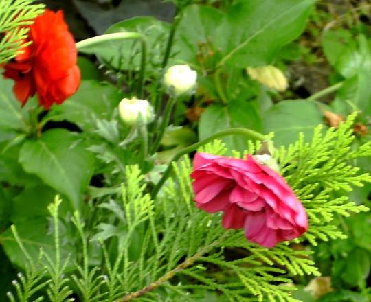 Pink Ranunculous (Ranunculus asiaticus)