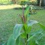 Corn thriving!