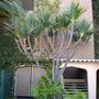 Pandanus ultilis - Screw Pine, Madagascan Screw Pine  (danus ultilis - Screw Pine, Madagascan Screw Pine)