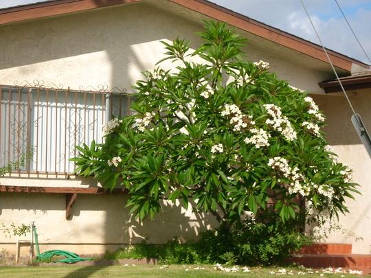 Plumeria rubra 'King Kalakaua'  (Plumeria rubra 'King Kalakaua')