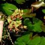 Pond or bog plant. Houttuynia cordata 'Chameleon'. (Houttuynia cordata (Houttuynia))