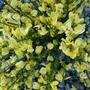 Cytisus Praecox 'Allgold' (Cytisus praecox 'Allgold')