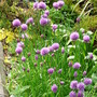 Chives in full bloom (Allium schoenoprasum (Chives))