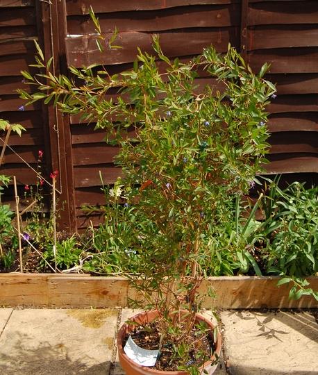 Sollya heterophylla (Sollya heterophylla (Bluebell Creeper))