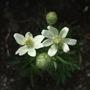 Anemone multifida 'Annabella White' (Anemone multifida (Anemone))