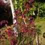 Euphorbia cotinifolia - Caribbean Copper Plant (Euphorbia cotinifolia - Caribbean Copper Plant)