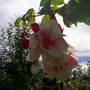 fuchsia snowburner