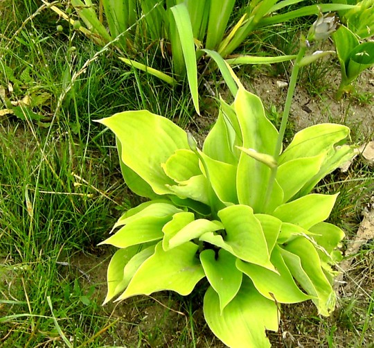 Pale leaved Hosta with flowers just coming. Name anyone???? (Hosta fortunei (Plantain lily))