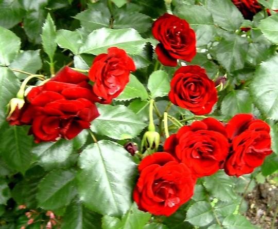 Rose, closer view. (Rosa)