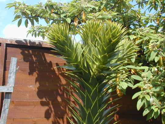 Growing point of Monkey Puzzle (Araucaria araucana)