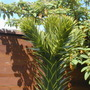 Growing point of Monkey Puzzle (Araucaria araucana)