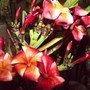 Plumeria 'Lurline' (Plumeria rubra 'Lurline')