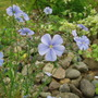 Linum Narbonense 'Heavenly Blue' (Linum Narbonense)