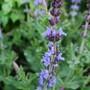 Salvia_nemorosa_deep_blue_