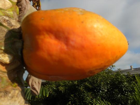 Papaya carica 'Maradol' - Maradol Papaya (Papaya carica 'Maradol' - Maradol Papaya)