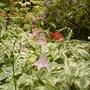 pale pink columbine (aquilegia)