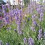 lavender at garden gate