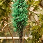 Strongylodon macrobotrys (Blue jade vine)