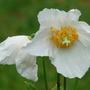 Meconopsis alba